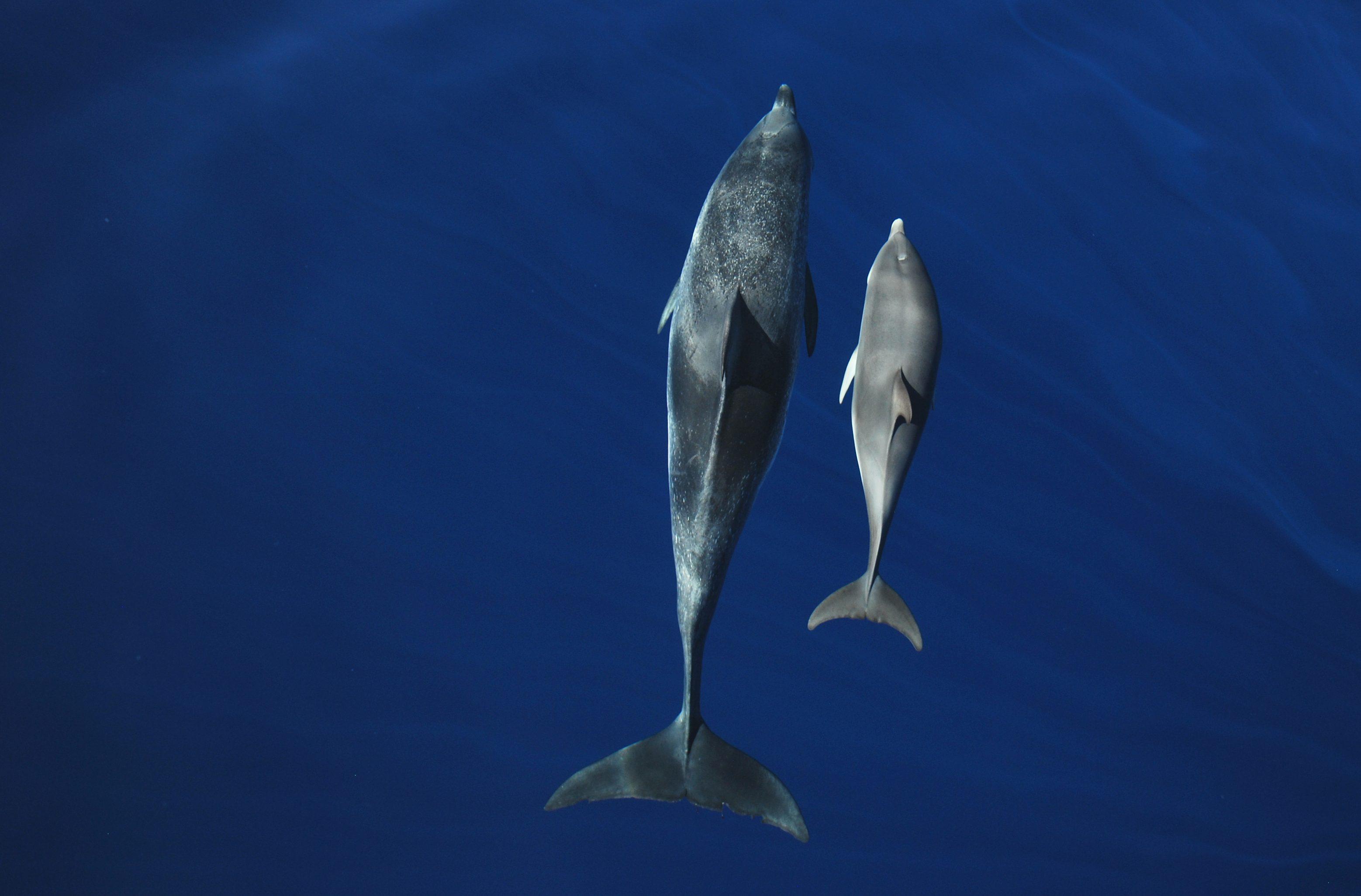 Atlantic-spotted-dolphins-Copyright-Miranda-van-der-Linde-6-e1486661546775
