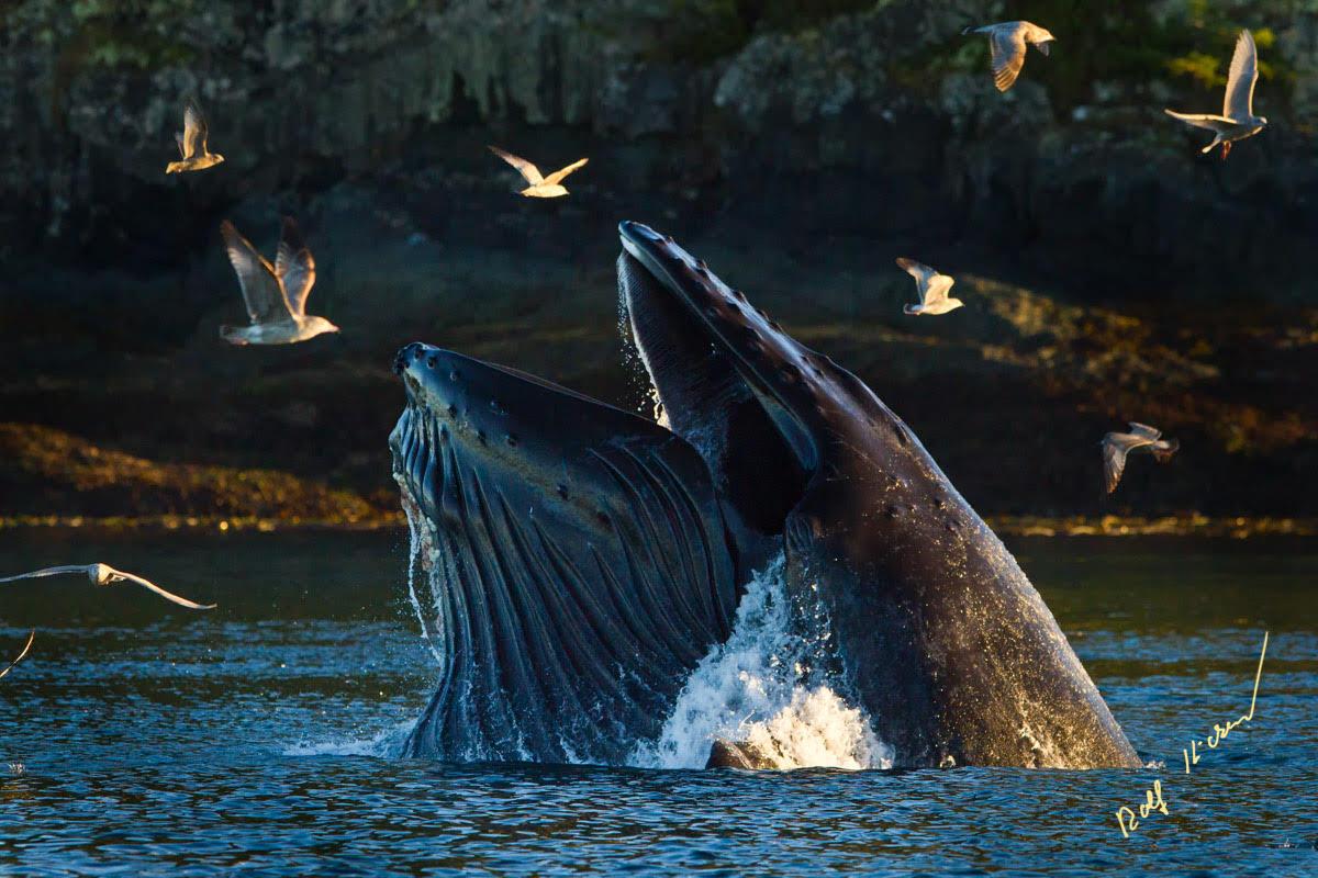 Humpback Whale Canada