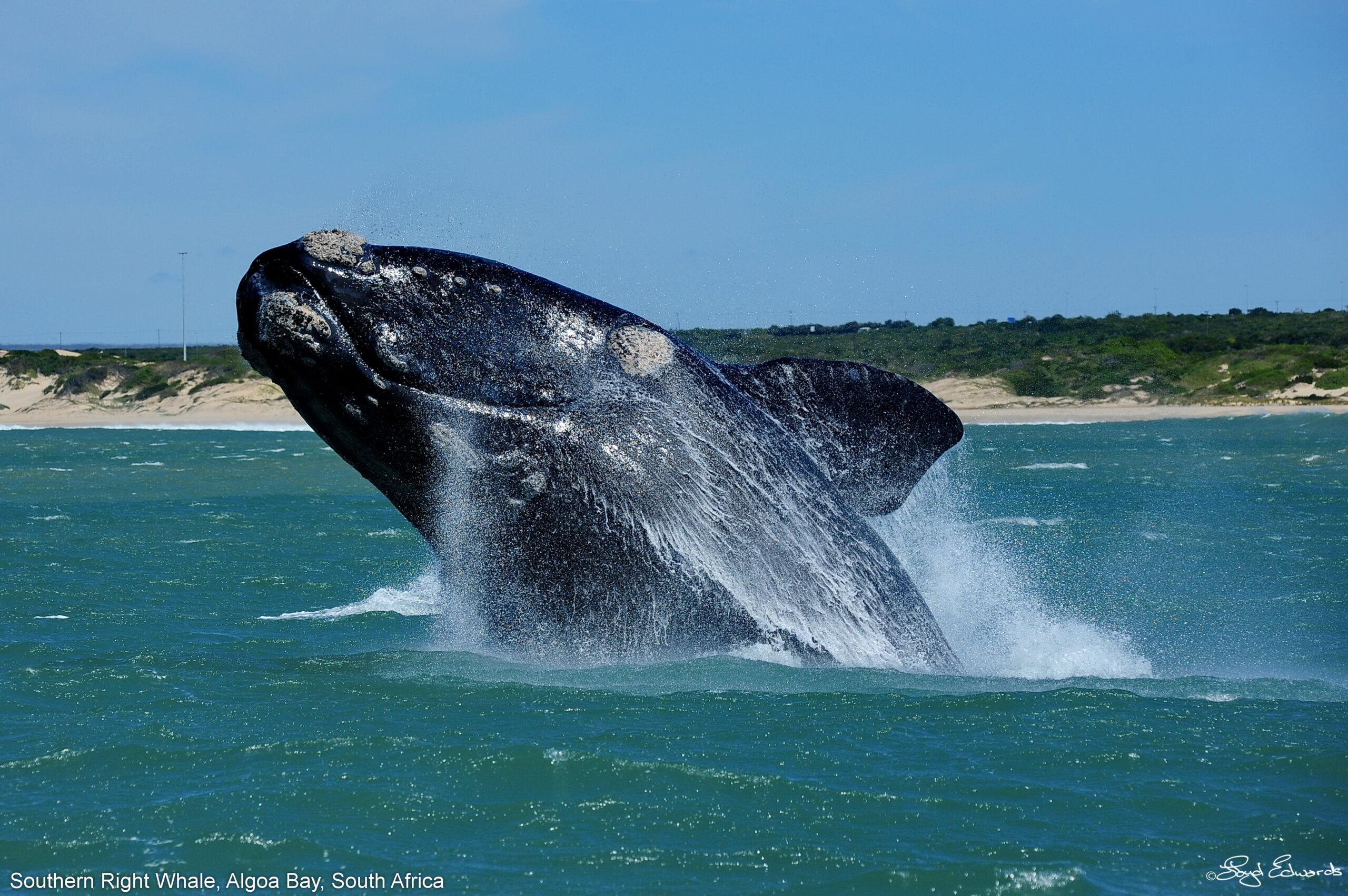 Algoa Bay Whale